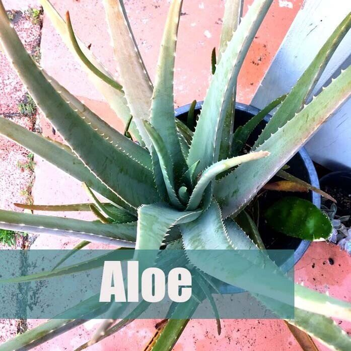 5 easy to grow plants-Aloe