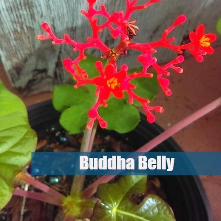 5 easy to grow plants-buddha belly