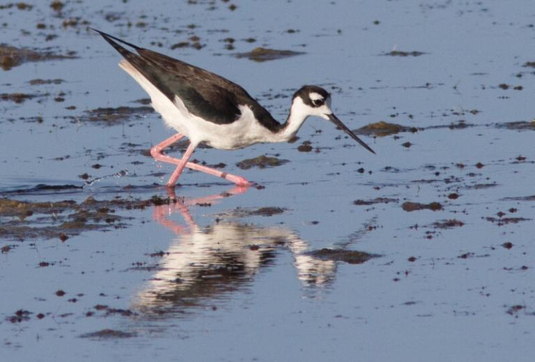 Great Birding - A Black-necked Stilt