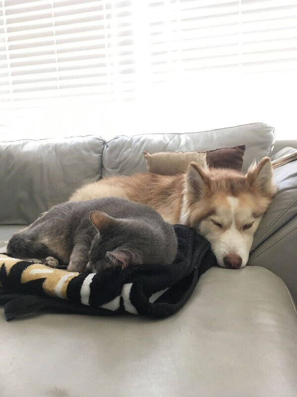 Tips for Moving with Pets_husky on a couch